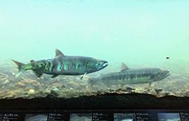 三面川鮭観察自然館