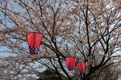 鮭公園桜201404182