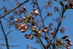 20140413鮭公園桜つぼみ
